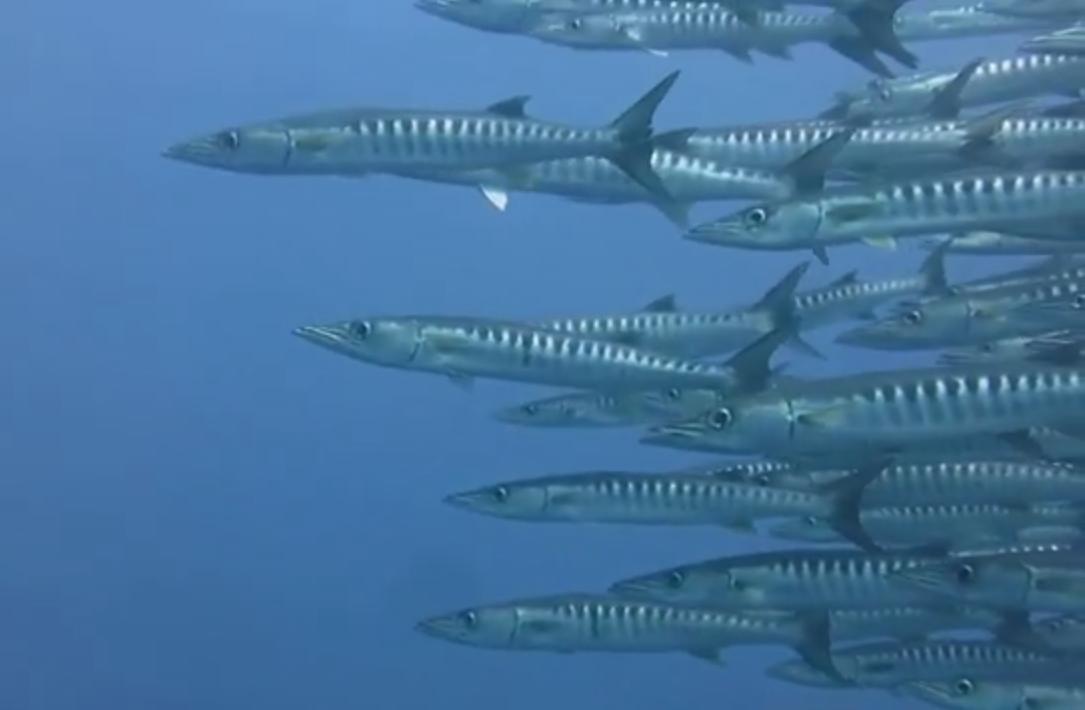 The Barracudas of Tubbataha